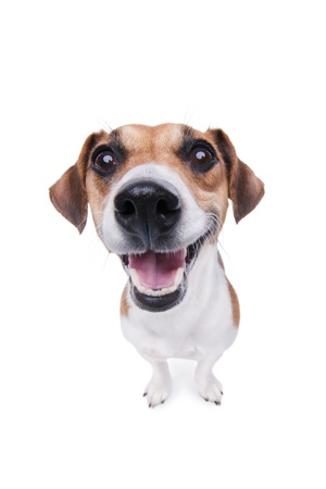 Smiling Jack Russel terrier dog  Pleased dog with big nose on white background  Studio shot  photo