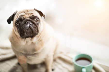 Cute pet face. Small cool dog pug sitting on a windowsill next to the coffee tea cup looking to the camera.