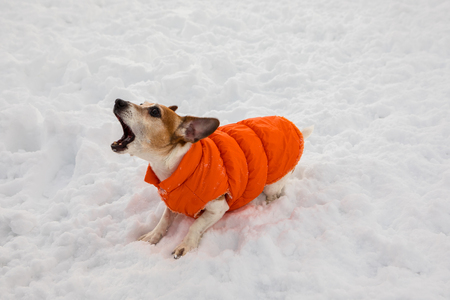 A barking dog in an orange jacket stands on the snow Stock Photo