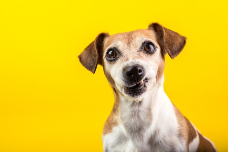Funny dog disgust, denial, disagreement face. Dont like that. grins teeth pet. Yellow background
