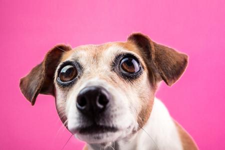 surprised dog with large expressive bulging eyes on pink background Stock Photo