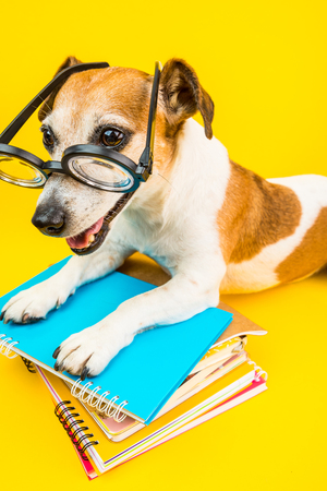 Smiling back to school dog. Funny pet and bright colors. Yellow background and blue books. Jack russell terrier cool pet Reklamní fotografie