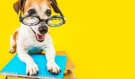 学校dpg黄色の背景に戻って幸せ。メガネのオタクスタイル。素敵なペットジャックラッセルテリア