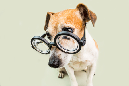 Dog Jack Russell terrier in glasses. funny nerd style pup. back to school theme.