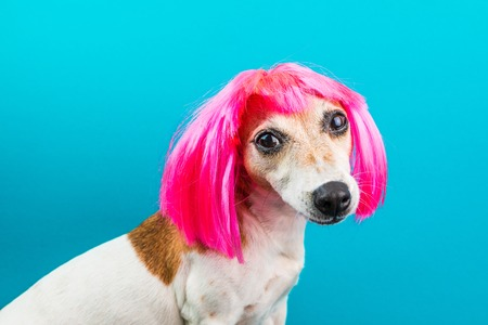 Cute small dog in pink wig on blue background looking to the camera. Fashion pet