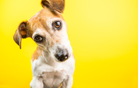 surprised curious lovely dog portrait on yellow background. Bright emotions Stock Photo