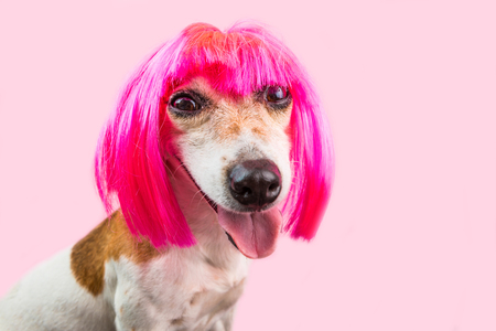 Funny cunning suspecting dog face in bright pink wig