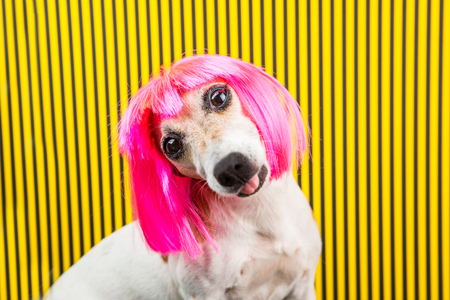 Curious dog face. Adorable fashionable silly dog face. Pink wig and yellow and black background Фото со стока