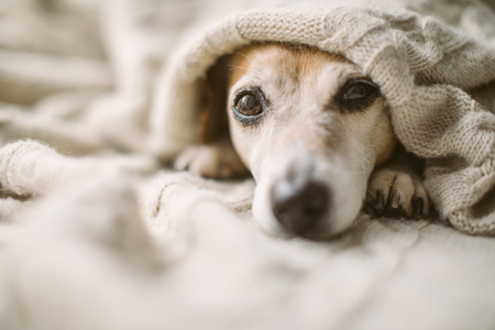 Dreamy thoughtful relaxed sad dog look under the blanket. Lovely cute dog face. Banco de Imagens