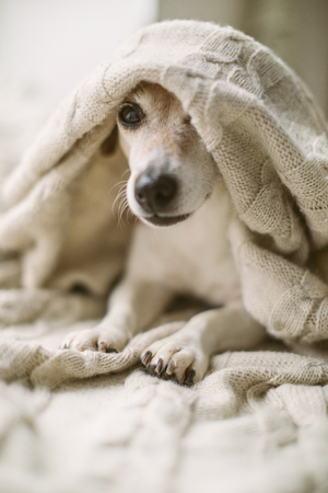 adorable small dog Jack Russell terrier having rest covered with a blanket. Relaxed weekend daytime. Banque d'images