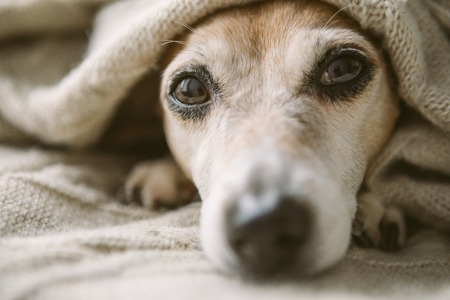 Relaxing close up face face portrait. Cute dog covered with beige blanket. Stock fotó