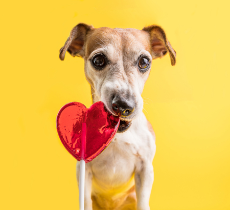 dog eating heart shaped red lollipop candy. Funny pet. yellow background. guilty look