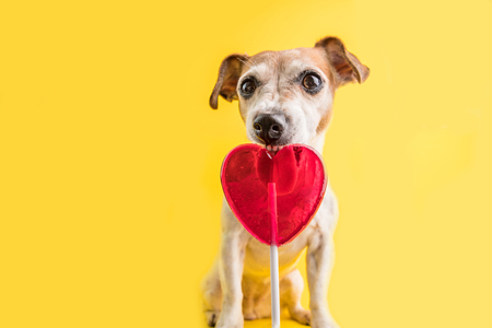 Adorable Sweets eating funny dog on bright yellow background. Hert shaped red candy lollipop. sweet tooth pet