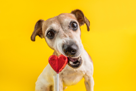 sweet tooth dog. with appetite and pleasure eating a candy. gnawing lollipop funny dog face. Yellow background Stock Photo