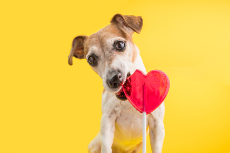 Sweet tooth pet. Eating sweets red candy dog. guilty look. Yellow background.