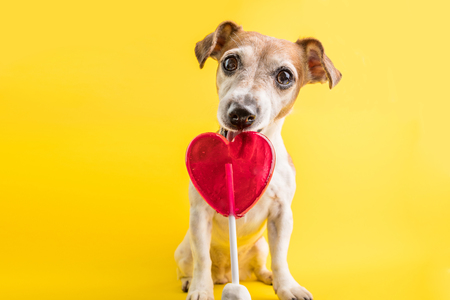 heart simbol shaped candy licking dog. Sweets lover pet. Diet. Yellow background