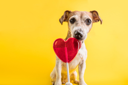 Funny dog face licking sweet candy. Red heart simbol. Love romance. Yellow background Stock Photo