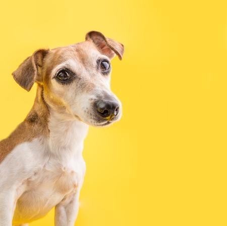 Dog smart eyes looking. Amazing dog portrait on yellow background. Cute pet face