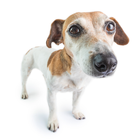 Sad cute dog on white background. Concentrated calm pet
