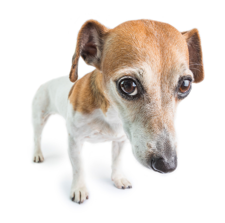 Sad dog face. Adorable small dog Jack Russell terrier with worried face. Upset emotions pet on white background
