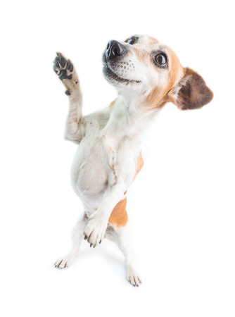 Active dog is standing on its hind legs. Funny dance Makes tricks. White background. Jack russell terrier Stock fotó