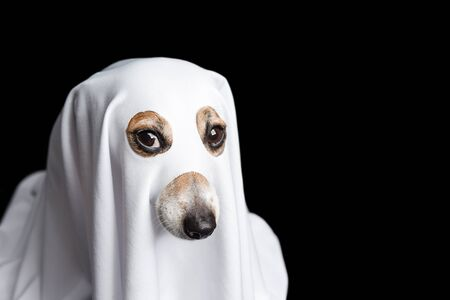 halloween dog ghost. intent stare. Black background