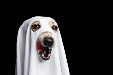 Licking halloween treat or trick funny dog face. Black background. White ghost costume 免版税图像