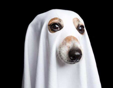 Halloween ghost portrait. Funny dog on black background. 版權商用圖片