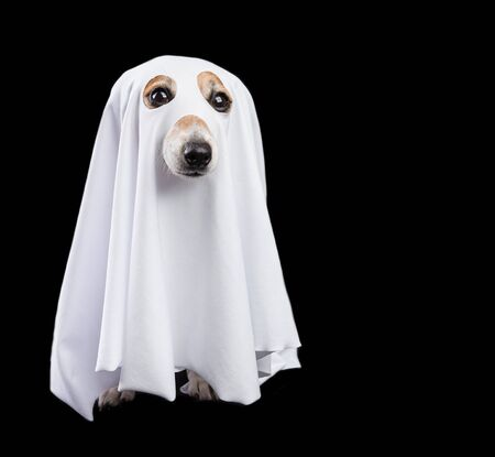 Funny small white halloween ghost on black background. Cute dog looking 免版税图像