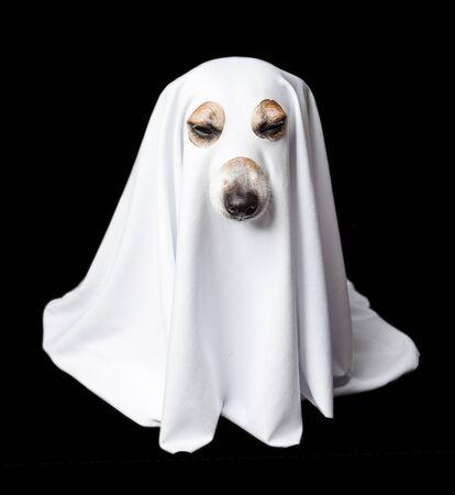 Halloween sleeping tired white dog ghost. Black background. Closed eyes 版權商用圖片