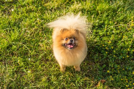 Dog Pomeranian Spitz looking up sitting on green grass. Waiting for treats food hungry 免版税图像