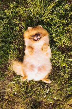 fluffy cute dog Pomeranian Spitz lies on his back on the grass. Enjpy summer time 版權商用圖片