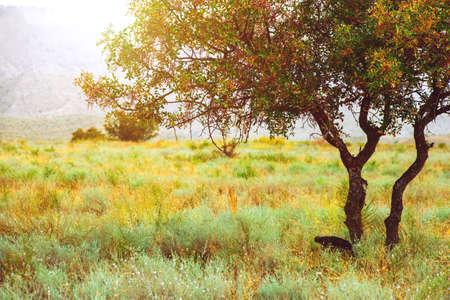 Árbol colorido en la sabana. Hierba amarilla. Paisaje de verano Foto de archivo