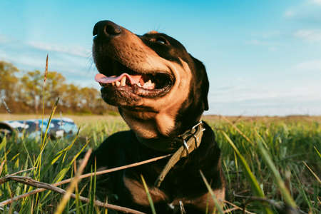 Happy Dog Stafford is lying on the green grass in the meadow on a warm summer day Stockfoto