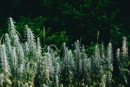 Flowering bushes of Motherwort in the forest. Medical herbs Dark background
