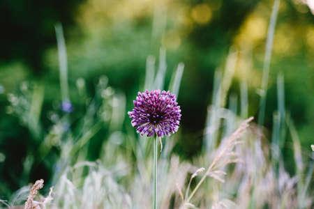 Bloomy Allium violet flower closeup. Blurred green background