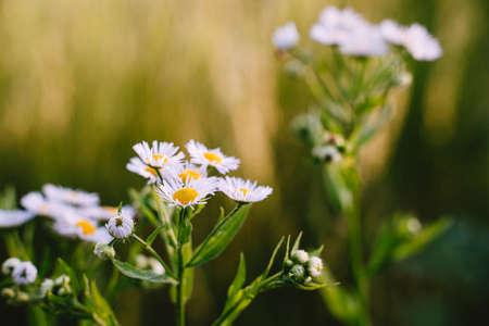White wild aster. Summer little flowers Outdoor closeup. Blurred background