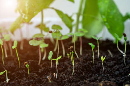 Young sprouts of basil and parsley. Growing plants at home. Home garden. Cooking herbs