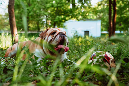Funny cute english bulldog walks in the park with a ball. Stockfoto