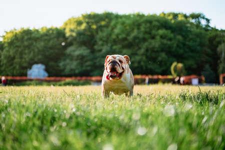 Funny cute english bulldog walks in the park on green grass Stockfoto