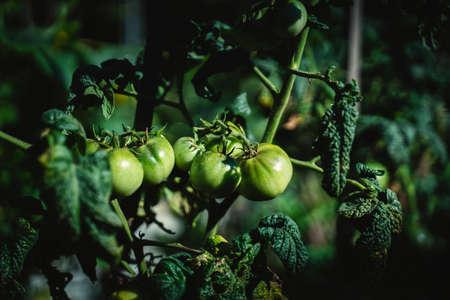 Unripe green bush of tomatoes in the garden.