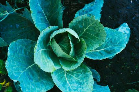 Large leaves of green cabbage in the dew in the garden. Household Stockfoto