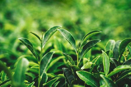 Green tea bud and fresh leaves. Tea plantations. Sochi Russia