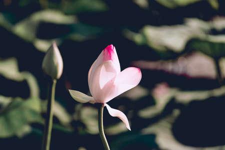 Beautiful white lotus flower blooms in the pond, lotus lake Russia