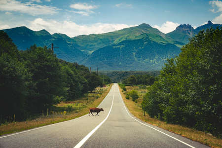 Highway to the mountains. The cow crosses the road. Travel by car in nature