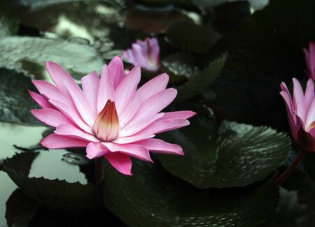 Pink water-lily and its reflection. Sochi, Russia. Stock Photo - 1868622