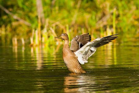 mallard duck on the river Stock Photo