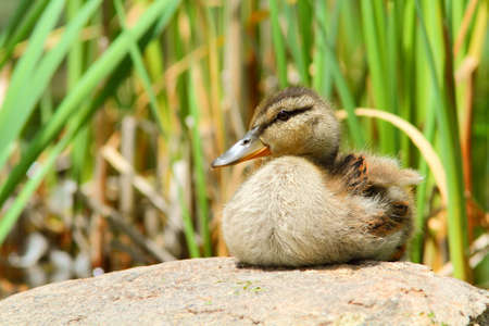 Baby mallard on the stone Stock Photo