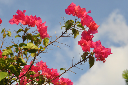 pink bougainvillea flower background