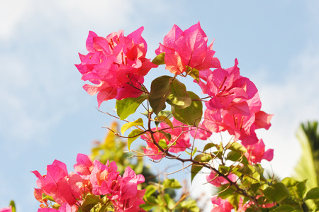 pink bougainvillea flower